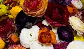 波斯毛茛,颜色混合物  库存照片