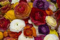 波斯毛茛,颜色混合物  免版税库存图片