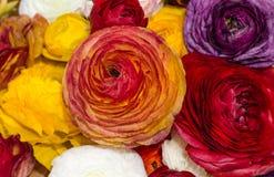 波斯毛茛,颜色混合物  免版税库存照片