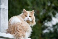 波斯猫坐木栏杆 库存照片