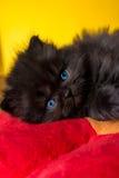 波斯猫小狗 库存照片