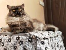 波斯猫摆在 免版税库存图片