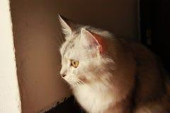 波斯猫放松与看的眼睛外面 免版税库存图片