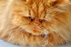 波斯猫睡眠 免版税库存照片