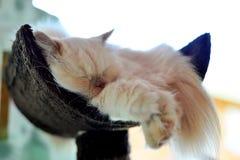 波斯猫睡眠 免版税图库摄影