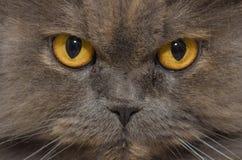 波斯猫 库存图片