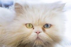 波斯猫 免版税图库摄影