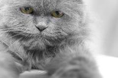 波斯猫 图库摄影