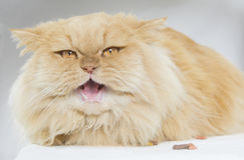 波斯猫 免版税库存图片