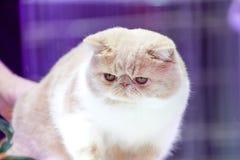 波斯白色美丽的豪华逗人喜爱的浅褐色的头发猫的关闭在短的面孔和鼻子 免版税图库摄影
