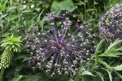 波斯美丽的紫色花葱属Cristophii星  库存照片