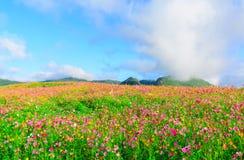波斯菊与云彩和蓝天的花田风景  库存图片