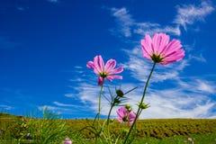 波斯菊与美丽的天空的bipinnatus领域 免版税图库摄影