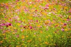波斯菊五颜六色的背景在领域开花在晴天 夏天和春季在领域开花美丽开花 免版税库存图片