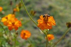 波斯菊和蜂蜜蜂 免版税图库摄影