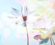 波斯菊在下落开花下雨在玻璃下有春天和蓝天软的迷离背景 图库摄影
