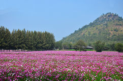 波斯菊在乡下Nakornratchasrima泰国的花田 图库摄影