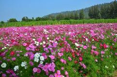 波斯菊在乡下Nakornratchasrima泰国的花田 免版税图库摄影