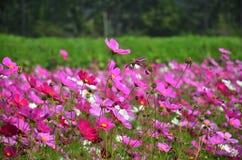 波斯菊在乡下Nakornratchasrima泰国的花田 免版税库存图片