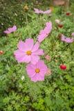 波斯菊在庭院里开花五颜六色 免版税库存照片