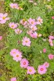 波斯菊在庭院里开花五颜六色 免版税库存图片