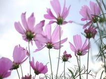 波斯菊在美丽的天空期间的花运动在夏天 股票视频