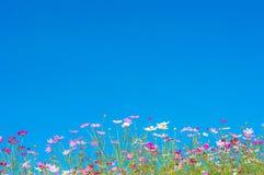 波斯菊在蓝天的庭院里开花 库存图片