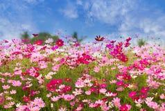 波斯菊在蓝天背景,春季的花田开花 免版税库存图片