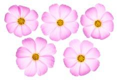 波斯菊开花粉红色 库存图片