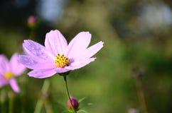 波斯菊开花粉红色 图库摄影