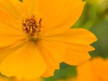 波斯菊或墨西哥翠菊(波斯菊sulph美丽的黄色花  免版税图库摄影