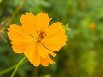 波斯菊或墨西哥翠菊(波斯菊sulph美丽的黄色花  免版税库存图片