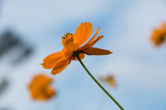 波斯菊橙色花和天空 库存图片