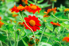 波斯菊橙色花在泰国的公园 库存照片