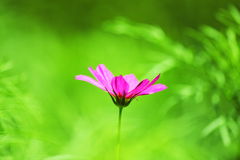 波斯菊粉红色 免版税库存照片