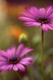 波斯菊粉红色 免版税图库摄影