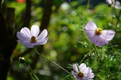 波斯菊纯净白花 免版税库存照片