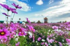 波斯菊花、新鲜的植物群和自然背景 图库摄影