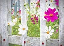 波斯菊花和尖桩篱栅 免版税库存图片