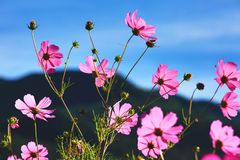波斯菊花和芽美好的风景  免版税库存图片
