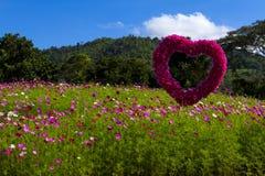 波斯菊花和蓝天的领域 免版税库存图片