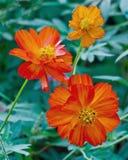波斯菊花在庭院里。 免版税库存图片