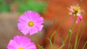 波斯菊花在庭院里 免版税图库摄影