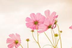 波斯菊花在庭院里 图库摄影