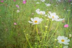波斯菊花在庭院里 免版税库存照片