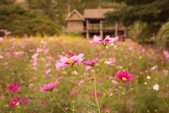 波斯菊花在庭院里 免版税库存图片