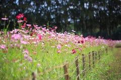 波斯菊花在庭院里 库存照片
