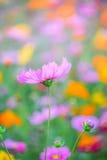 波斯菊花在秋天庭院里 库存图片