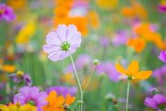 波斯菊花在秋天庭院里 库存照片
