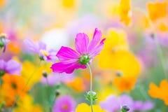 波斯菊花在秋天庭院里 免版税库存照片